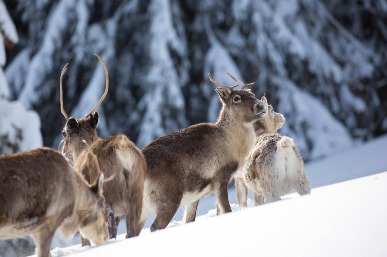 Les rennes de la ferme aux renne sà Stosswihr en plein hiver - ©lafermeauxrennes