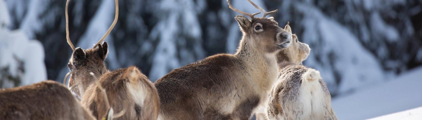 Rennes dans la neige, ferme aux rennes